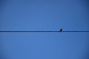minimalism - bird on a wire